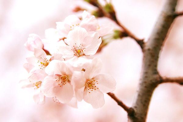cherry-blossom_00154