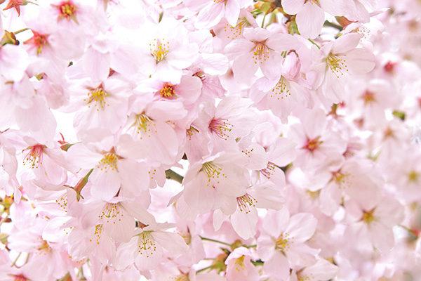 cherry-blossom_00330