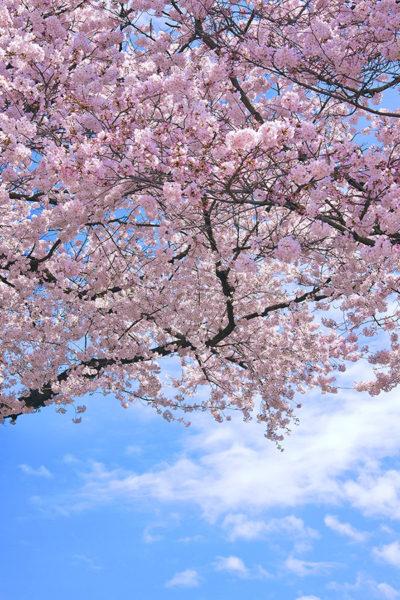 cherry-blossom_00579