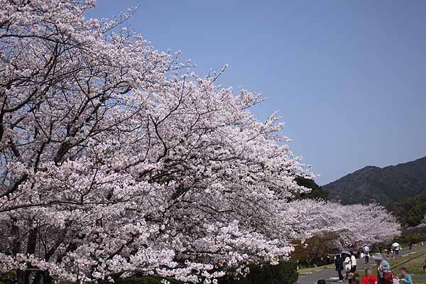 太宰府政庁跡、左側の桜のお花見ポイント