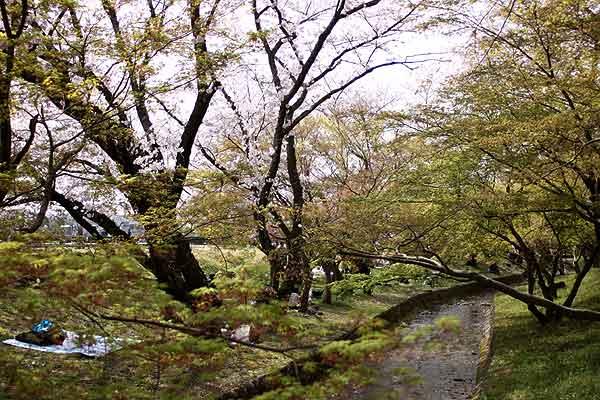 太宰府政庁跡、川沿いの桜のお花見