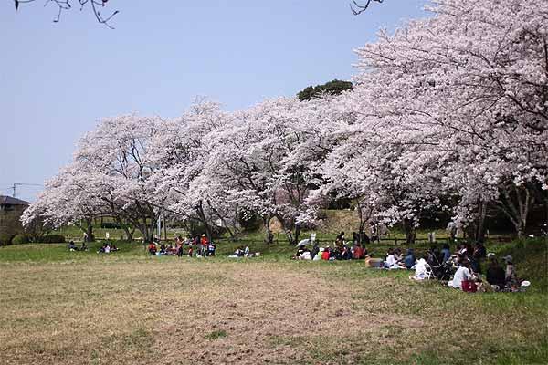 太宰府政庁跡、一番奥の桜のお花見ポイント