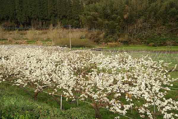 梨の花!白くてカワイイです…!