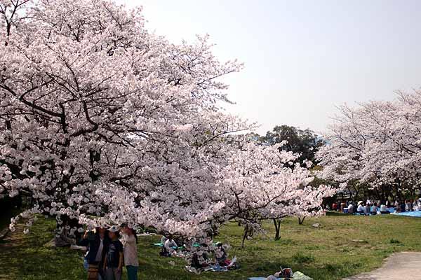 太宰府政庁後の桜お花見