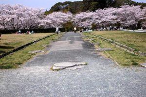太宰府政庁跡の桜05