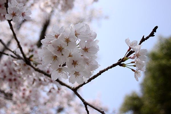 太宰府政庁跡の桜