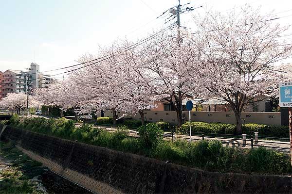 太宰府御笠川沿いの桜01s