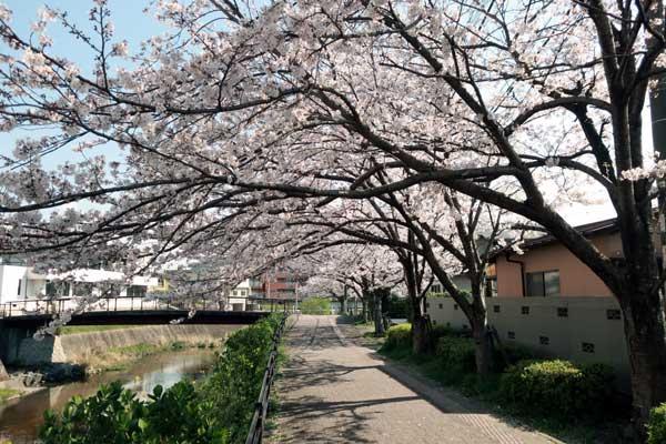 太宰府御笠川沿いの桜02s