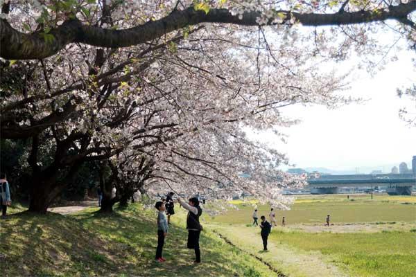 水城跡の桜02s