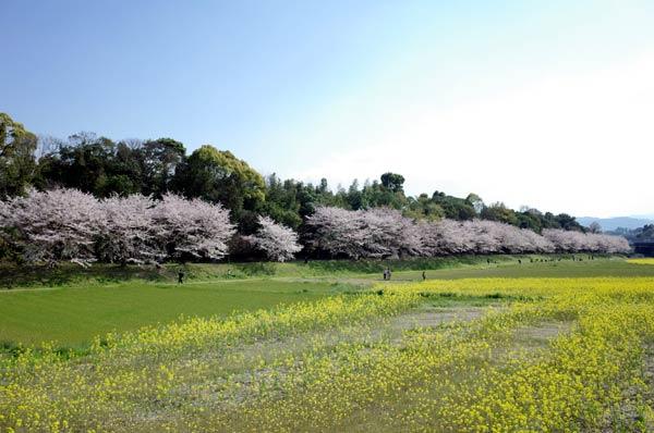 太宰府水城跡の桜03s