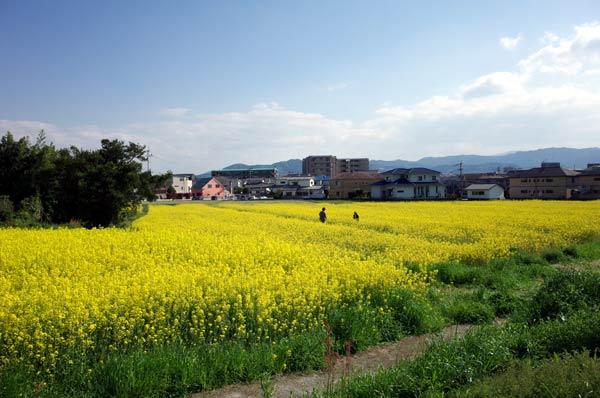 太宰府水城跡の菜の花s
