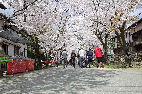 秋月桜の名所アクセス駐車場ご案内