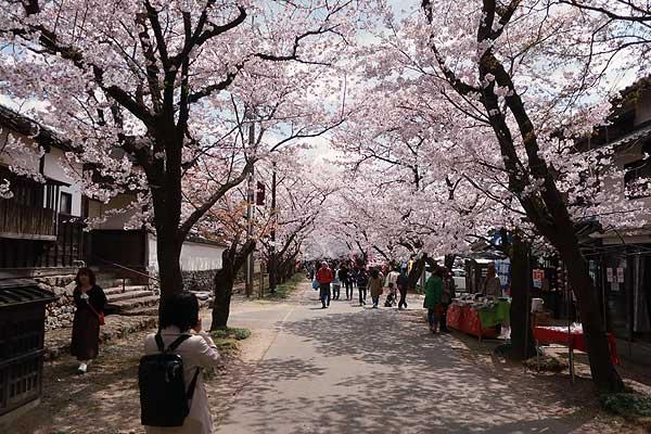 秋月桜の名所・杉の馬場02s