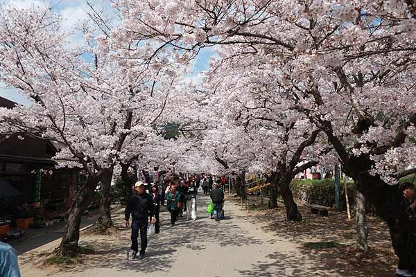秋月桜の名所・杉の馬場03s