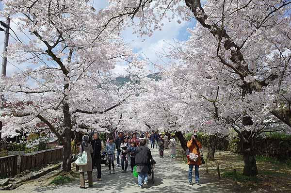 秋月桜の観光名所杉の馬場は