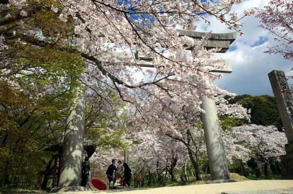 太宰府竃門神社の桜00