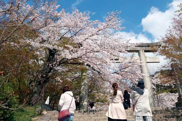 太宰府竃門神社の桜01