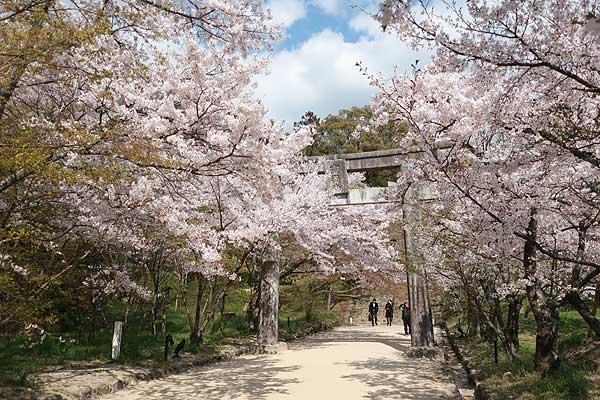 太宰府竃門神社の桜02s