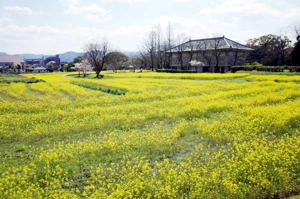 観世音寺の菜の花