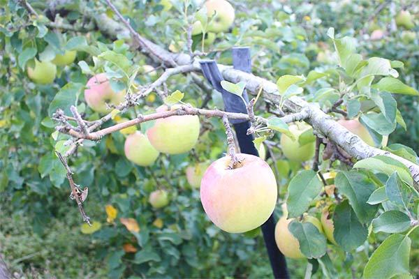 木になってるりんご