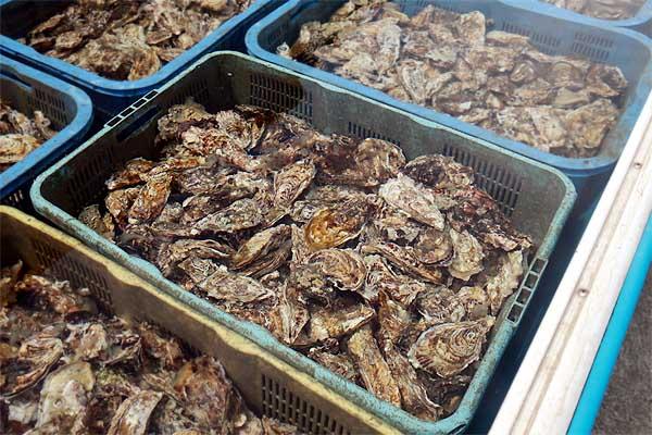 糸島カキの牡蠣小屋出荷前の殺菌