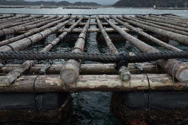糸島カキ筏