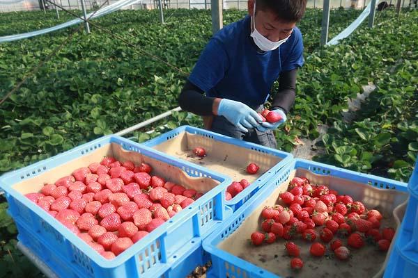 新規就農であまおういちごを栽培する彩果農園(福岡県筑後市)