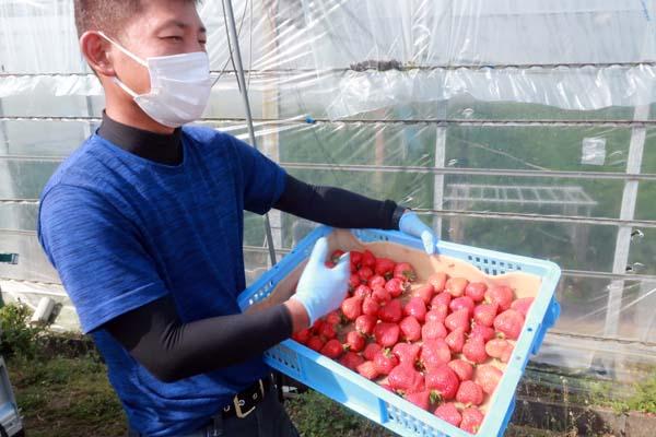 福岡県筑後市で新規就農であまおういちごを栽培する彩果農園