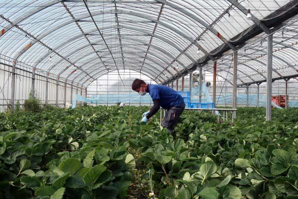 新規就農であまおういちごを栽培する福岡県筑後市の彩果農園