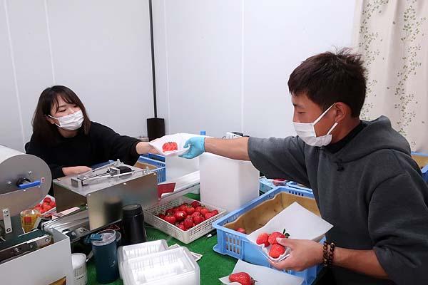 福岡で新規就農であまおういちごを栽培する彩果農園のパッキングする油小路夫妻