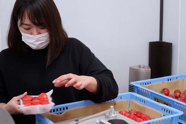 Uターンで福岡へ。新規就農であまおういちごを栽培する彩果農園