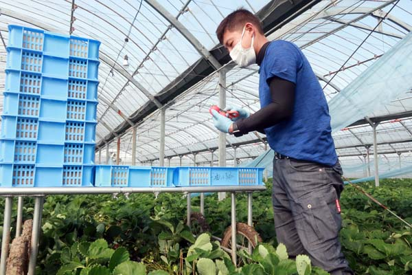 福岡で新規就農であまおういちごを栽培する彩果農園の油小路さん